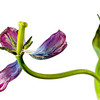 Twistin' Tulip