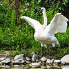 July 11, 2013<br /> <br /> Bird Yoga - The Swan Pose<br /> <br /> Trumpeter Swan<br /> Kamloops, B.C.
