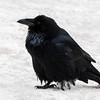 December 7, 2014<br /> <br /> Raven<br /> <br /> Jasper National Park, Alberta