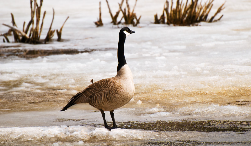 April 23, 2011<br /> <br /> Canada Goose<br /> <br /> Elk Island National Park, Alberta<br /> <br /> *The geese are home and are finding that the water is still frozen. Although there are alot of fields full of water they seem a little bit confused.
