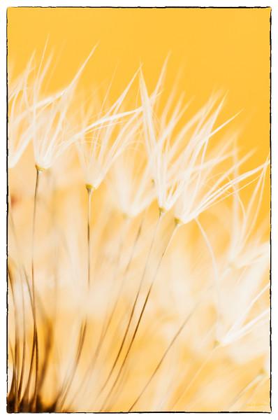 February 16, 2015<br /> <br /> Dandelion<br /> <br /> * Memories of summer...<br /> Bring on SPRING!!