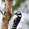 "January 2, 2011<br /> <br /> ""Colourful Tree and Me""<br /> <br /> Female Downy Woodpecker<br /> Elk Island Retreat, Alberta<br /> <br /> * I find that in the winter there are so many colours to be found, some times they just pop out of the landscape. Shrubs and bushes reveal hidden colours that were not evident until all their leaves had fallen. Grasses and certain trees become vibrant against the often dull landscape that we enjoy here in Alberta for half of the year. Winter really is an incredible time of year and I like to take advantage of our good fortunes, including these cute little guys that share my private wilderness."