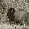 August 9, 2012<br /> <br /> Bison