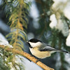 "Day Fifty-Three<br /> <br /> ""... and a Chickadee in the Tree""<br /> <br /> Elk Island Retreat, Alberta"