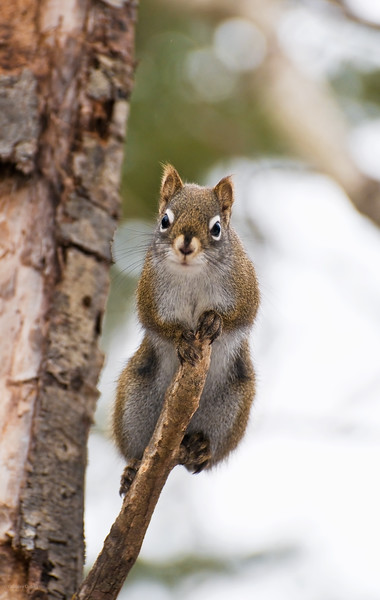 February 26, 2012<br /> <br /> Red-Tailed Squirrel<br /> <br /> Elk Island Retreat<br /> Near Fort Saskatchewan , Alberta<br /> <br /> * For the month of February, I will be processing images of my furry and feathered friends. I hope you enjoy them :)