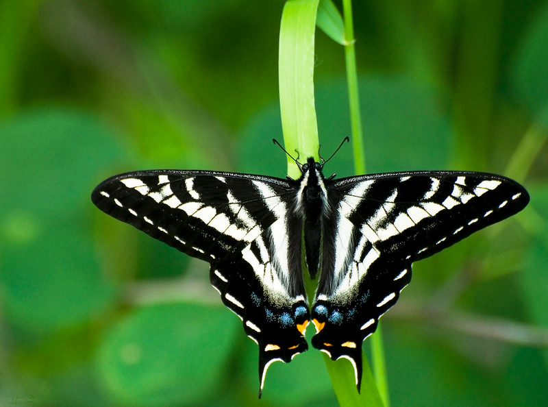 April 19, 2013<br /> <br /> Beautiful Butterfly<br /> <br /> Dutch Lake<br /> Clearwater, B.C.