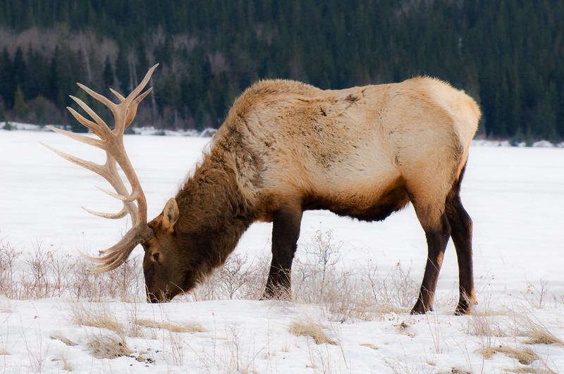 January 22, 2014<br /> <br /> Male Elk<br /> <br /> Jasper National Park, Alberta<br /> <br /> * Jasper in January<br />  For the month of January, I will be editing images from my annual trips to Jasper in January.