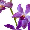 Mokara Orchid