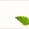 September 14, 2014<br /> <br /> Nettle Leaf<br /> <br /> * I found out the hard way that this leaf was stinging nettle!