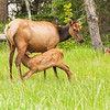 Mother Elk with Calf