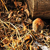 "April 25, 2011<br /> <br /> Southern Red-backed Vole<br /> <br /> Elk Island Retreat<br /> Near Fort Saskatchewan, Alberta<br /> <br /> ""There are a couple of these guys running around our site. I  noticed one a few months back coming in to feed and from what I can see, there will be some little ones running around soon!"