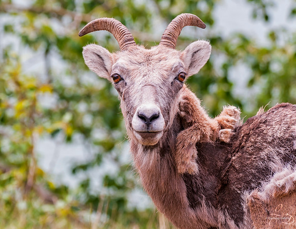 Sheep Shedding