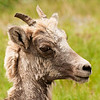 Young BIghorn Sheep