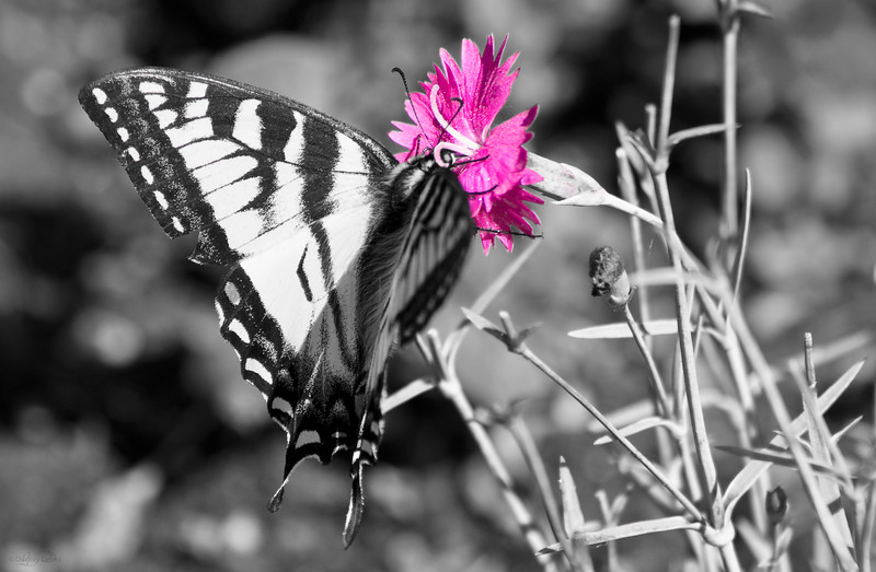 October 4, 2013<br /> <br /> Love Pink<br /> <br /> * Although this original image was very colourful, the only colour in this image is magenta. I was playing with the saturation sliders when I discovered this, and thought it looked kind of neat :) A different play on selective colour.