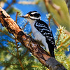 April 4, 2011  Female Hairy Woodpecker  Elk Island Retreat Near Fort Saskatchewan, Alberta  * It was nice to see this <i>big</i> bird at the site last week. We normally get a lot of Downy Woodpeckers, but rarely see the Hairy ones. I find it really hard to tell the difference between the two, especially if they are not in at the same time. I am so excited for spring and all the birds it will bring :)  (Sorry I was away from the computer the last couple days - I have posted a few photos to get caught up)