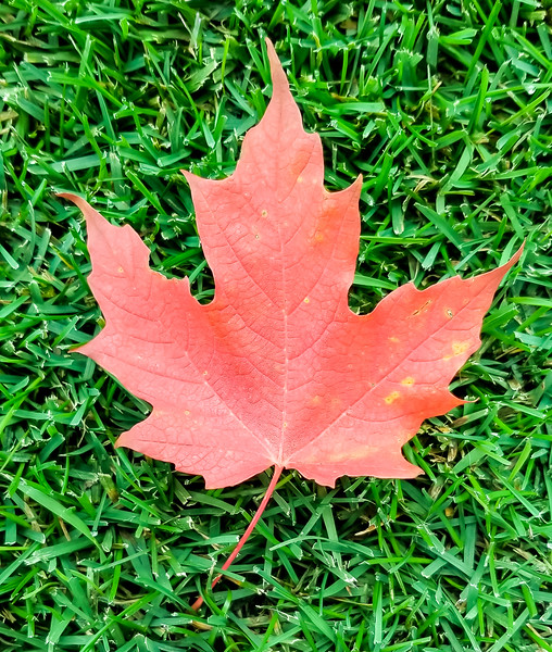 The Mighty Maple Leaf