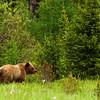 August 5, 2011<br /> <br /> Grizzly Bear<br /> <br /> Hwy. 40<br /> Near Grande Cache, Alberta