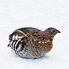 December 10, 2012<br /> <br /> Ruffed Grouse<br /> <br /> Elk Island Retreat<br /> Near Fort Saskatchewan, Alberta<br /> <br /> * We went to feed the birds yesterday and this grouse was very happy to see us :)