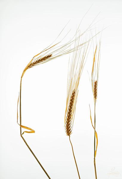 Alberta Wheat