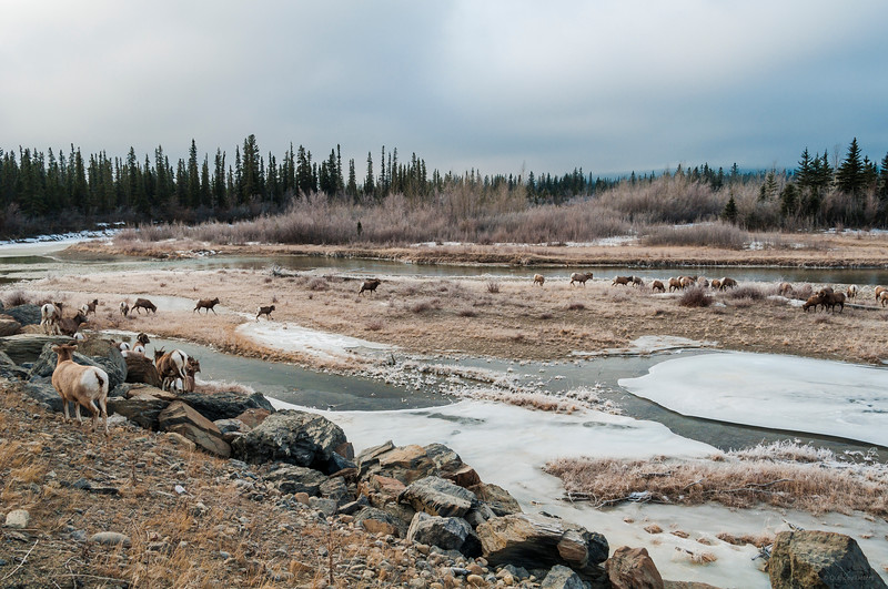 January 20, 2015<br /> <br /> Sheep Crossing<br /> <br /> Jasper National Park, Alberta<br /> <br /> * For the month of January I will, once again, be posting images from my annual trips to Jasper in January.
