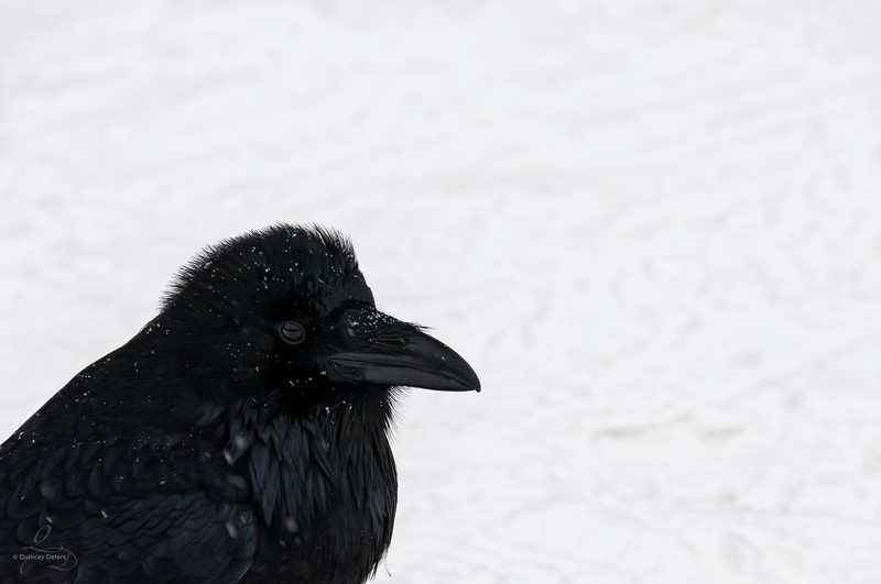 Company of the Raven