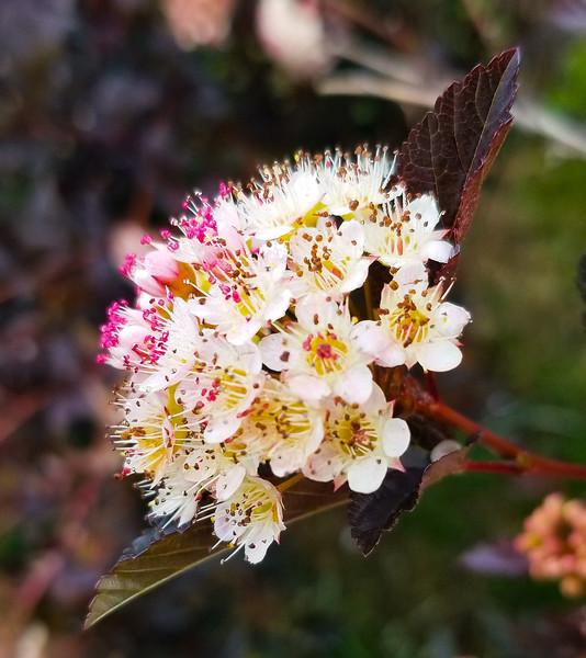 Blooming Ninebark