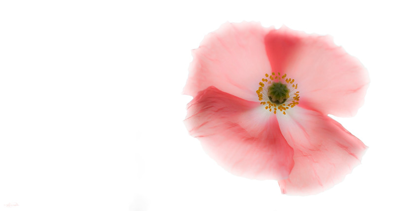 August 26, 2012<br /> <br /> Pastel Poppy