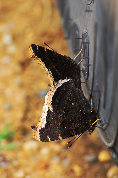 """June 1, 2011  """"Breeding Butterflies""""  Elk Island Retreat Near Fort Saskatchewan, Alberta  * I took this image a few weeks ago, May 8th, while we were camping. These butterflies were on the tire for about 30 minutes. I think it's going to be a <i>Good Year</i>! LOL"""