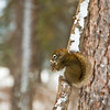 February 4, 2012<br /> <br /> Red Squirrel<br /> <br /> Pyramid Island<br /> Jasper National Park, Alberta<br /> <br /> * For the month of February, I will be processing images of my furry and feathered friends. I hope you enjoy them :)