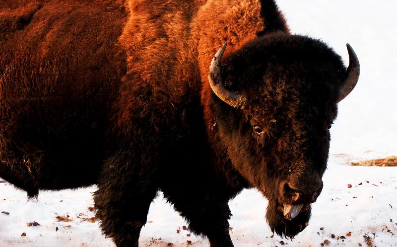 April 13, 2011<br /> <br /> Plains Bison<br /> <br /> Elk Island National Park, Alberta