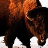 April 13, 2011<br /> <br /> Plains Bison<br /> <br /> Elk Island National Park, Alberta