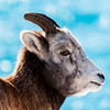 November 25, 2014<br /> <br /> Bighorn Sheep<br /> <br /> Abraham Lake, Alberta