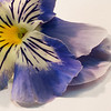 July 15, 2013<br /> <br /> Blue Beauty<br /> <br /> * I have so many beautiful flowers growing in my garden. This is one of them :)