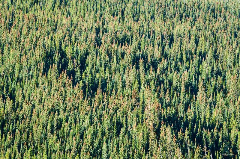 March 25, 2014<br /> <br /> Tree Tuesday<br /> <br /> Jasper National Park, Alberta <br /> <br /> #treetuesday