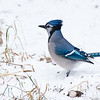 February 16, 2012<br /> <br /> Blue Jay<br /> <br /> Elk Island Retreat<br /> Near Fort Saskatchewan , Alberta<br /> <br /> * For the month of February, I will be processing images of my furry and feathered friends. I hope you enjoy them :)