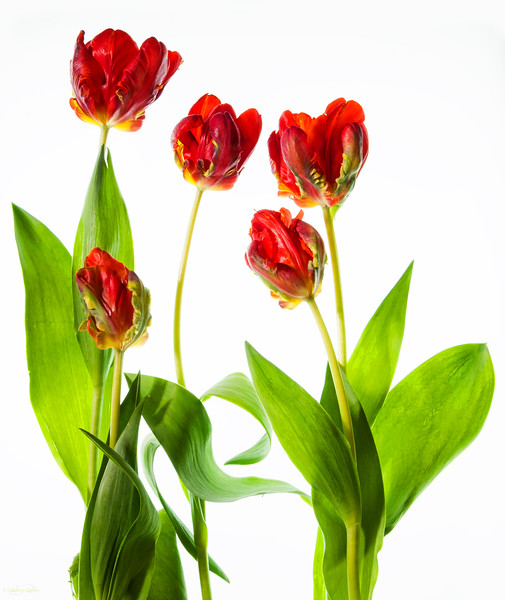 April 18, 2014<br /> <br /> Spring Sensation<br /> <br /> * Tulips on top of a light table :)