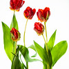 April 18, 2014<br /> <br /> Spring Sensation<br /> <br /> * Tulips on top of a light table :)