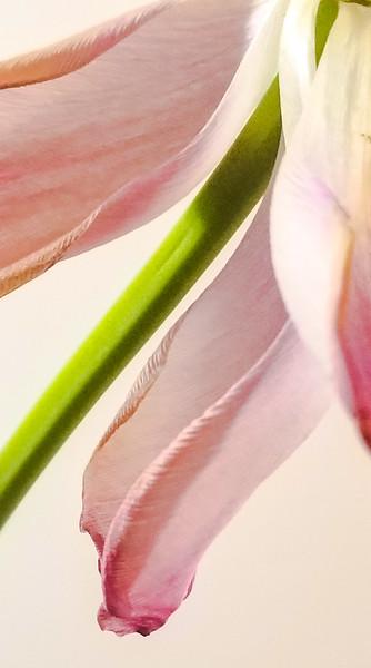 Tulip Trim