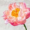 Peony - Plant of Healing
