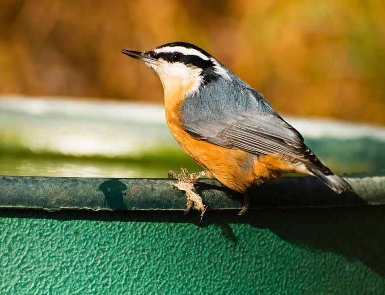 November 2, 2013<br /> <br /> Red-breasted Nuthatch<br /> <br /> Elk Island Retreat, Alberta<br /> <br /> * We spend a lot of time watching the birds at our campsite. Fall is a great time for birding - they are so active! This one stayed still long enough for me to get a good shot :)