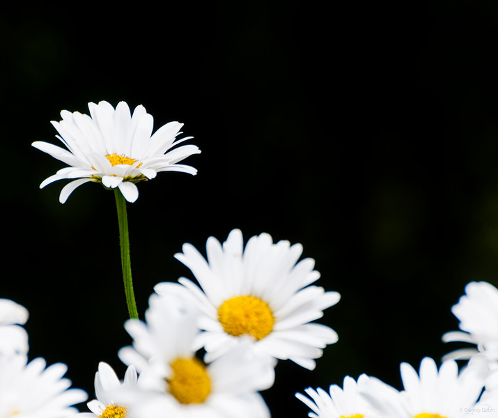 February 5, 2014<br /> <br /> Daisies<br /> <br /> * We are expecting a lot of snow over the next few days so I thought some memories of summer were in order for today.<br /> #throwbackthursday