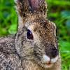 Bush Bunny