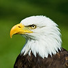 February 6, 2012<br /> <br /> Lincoln<br /> <br /> Bald Eagle<br /> <br /> Alberta Birds of Prey<br /> Coaldale, Alberta<br /> <br /> * For the month of February, I will be processing images of my furry and feathered friends.  I hope you enjoy them :)