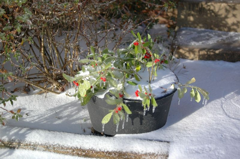 frozen holly outside