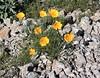 Mexican poppies springing up out of rocks at South Mountain.