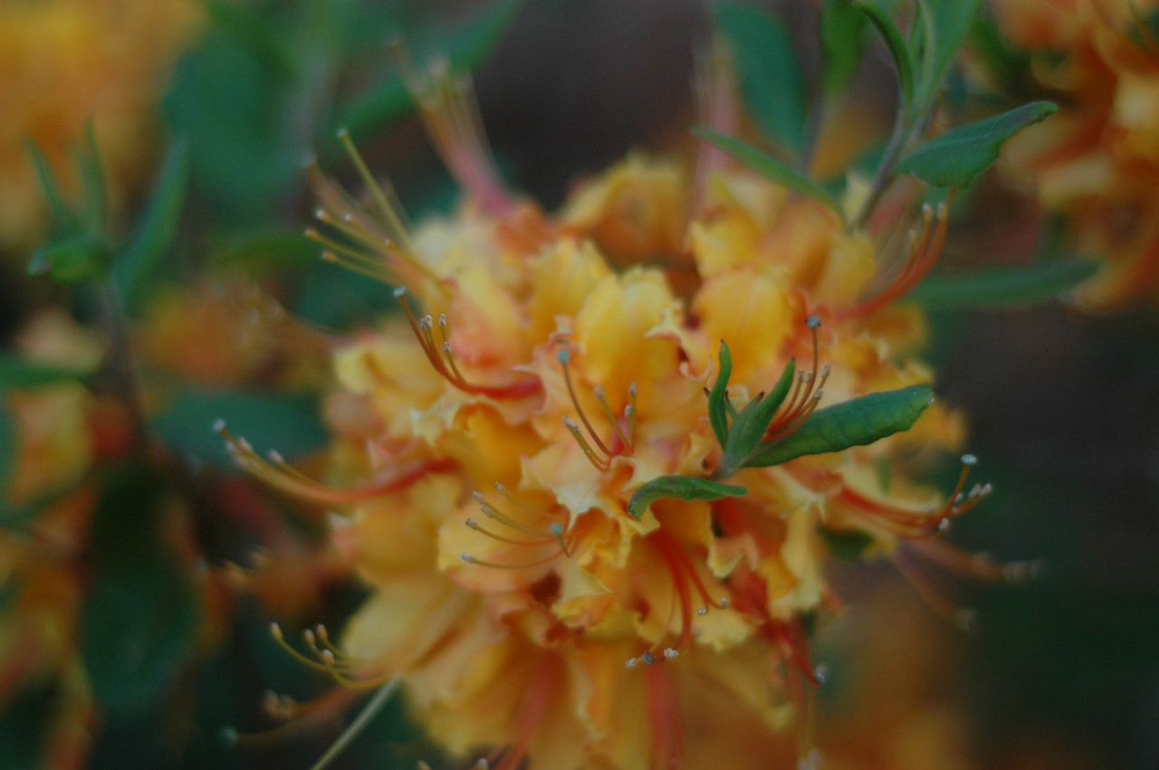April 21 - the florida azalea is in full bloom.
