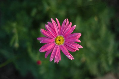 a pink daisy came up!
