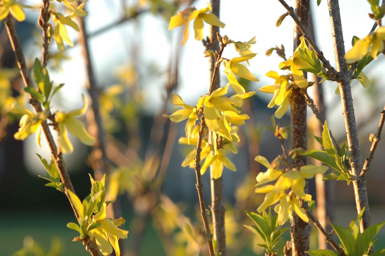 April 3 - the forsythia is blooming!