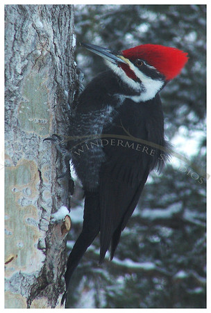Jan. 8, 2005: Pileated Woodpecker. A pair have been visiting sporadically. Luckily today was a day that they visited and I was able to capture one of them.