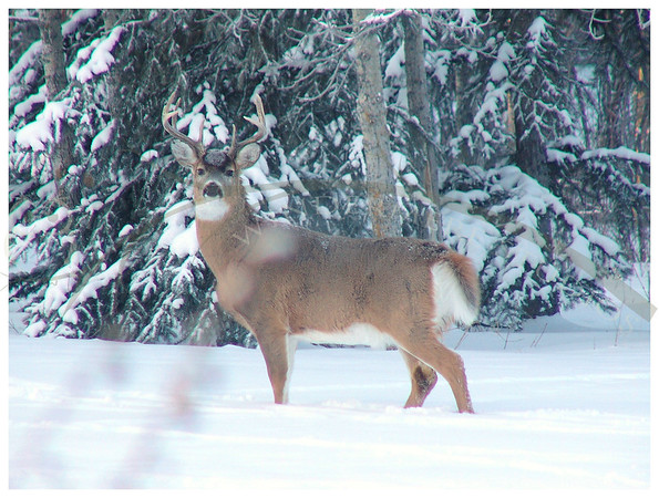 Jan. 10, 2005: Whitetail Buck. The deer have been emptying our bird feeders over night. This fellow was kind enough to pay a visit in the daylight. He is listening as I try to sneal closer to him.